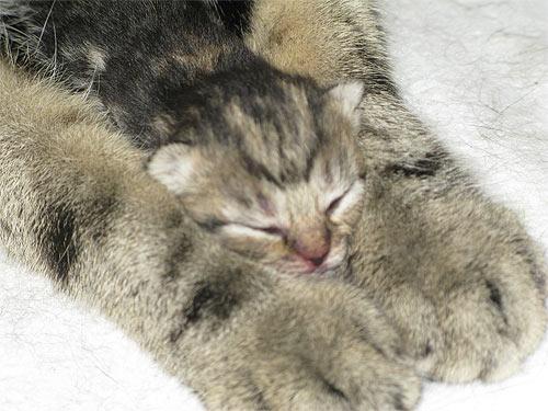 мышки дикие кошки африки порода кошек майкун ... вислоухая стишки о...