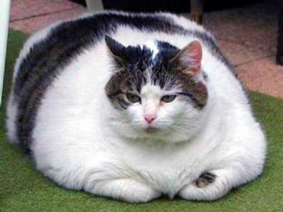 Химми - самый толстый кот в мире из Австралии