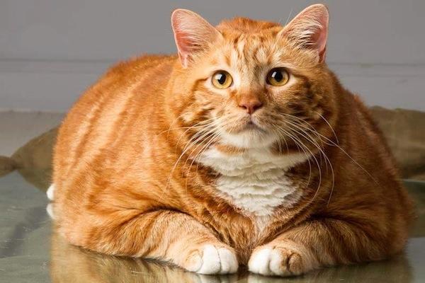 Кот по кличке Тощий похудел на 10 кг за три года в 2019 году